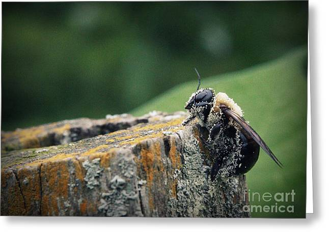 Pollen Dusted Bee Greeting Card by Amanda Wimsatt