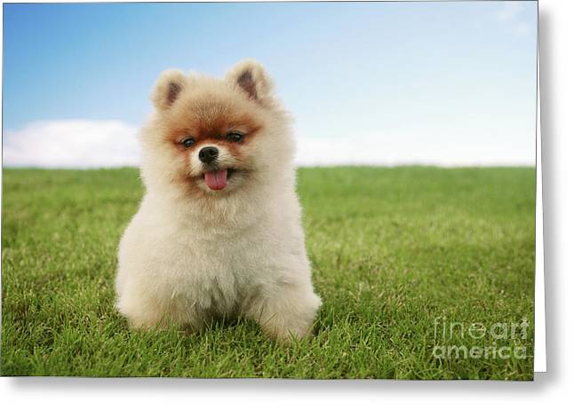 Pomeranian Puppy On Grass Greeting Card by Brandon Tabiolo - Printscapes