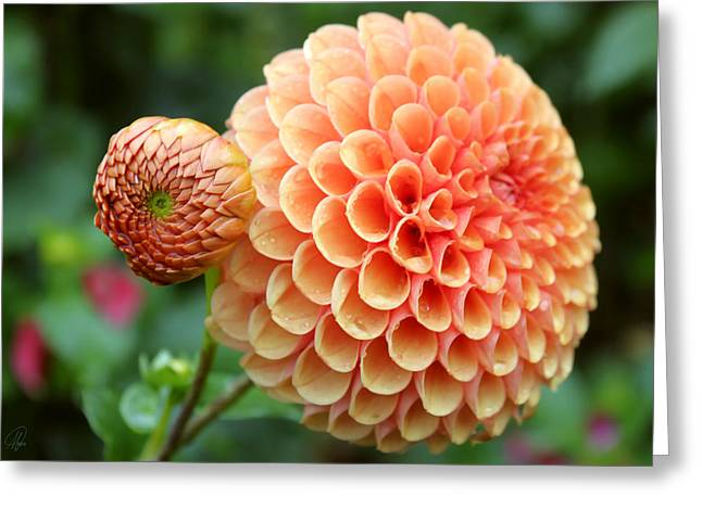 Greeting Card featuring the photograph Pompom by Margaret Hormann Bfa