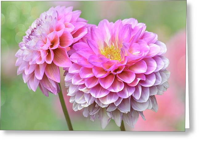Greeting Card featuring the photograph Pompon Dahlias by John Poon