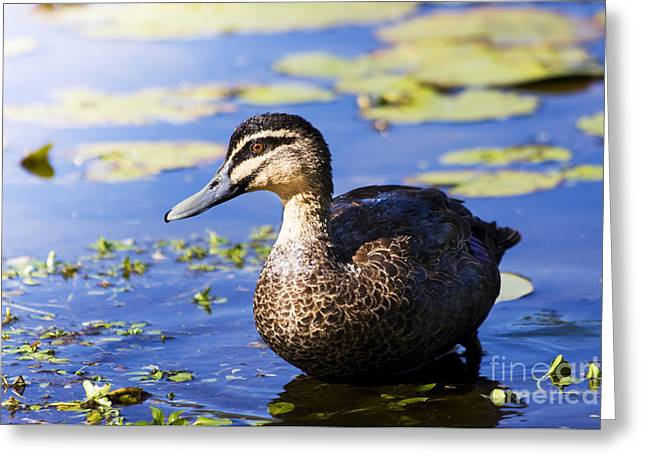 Pond Duck Greeting Card by Jorgo Photography - Wall Art Gallery