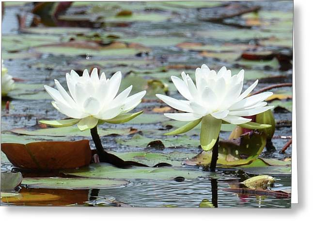 Greeting Card featuring the photograph Pond Lily Explosion by Sally Sperry