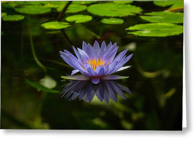Pond Lily Greeting Card by Garry Gay
