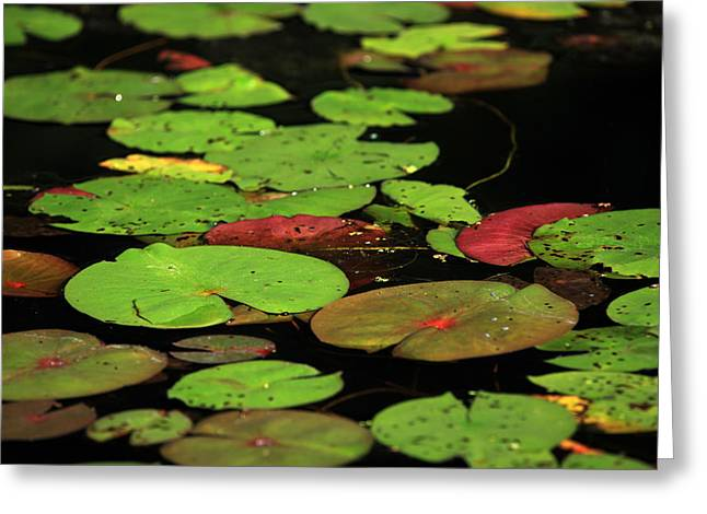 Pond Pads Greeting Card by Karol Livote
