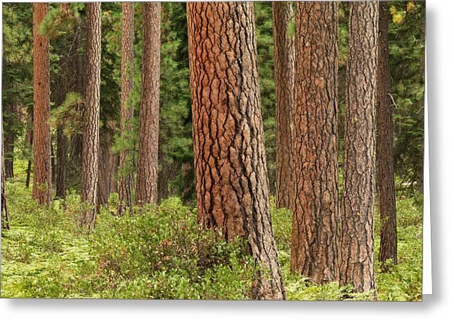 Ponderosa Pines Greeting Card by Leland D Howard