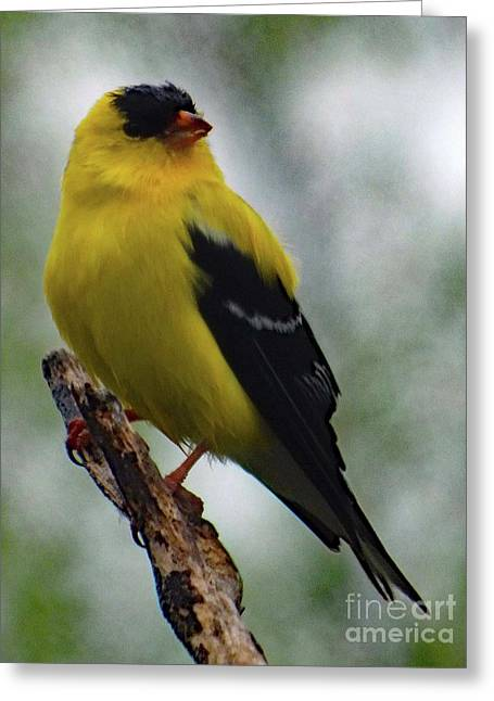 Popinjay - American Goldfinch Greeting Card by Cindy Treger