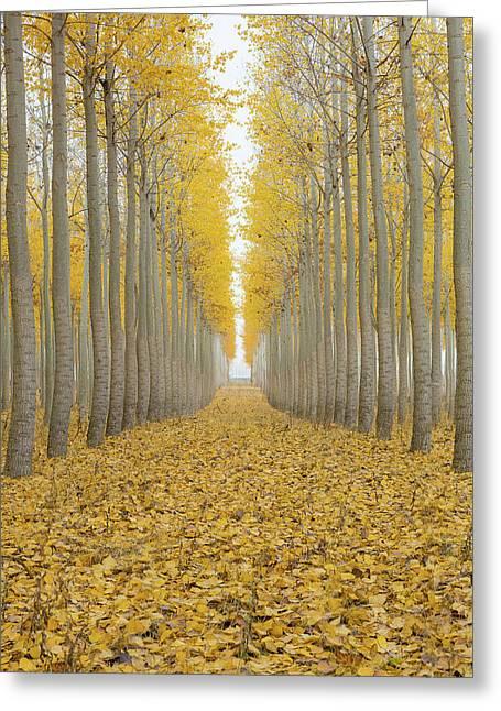 Poplar Tree Farm One Foggy Morning In Fall Season Greeting Card