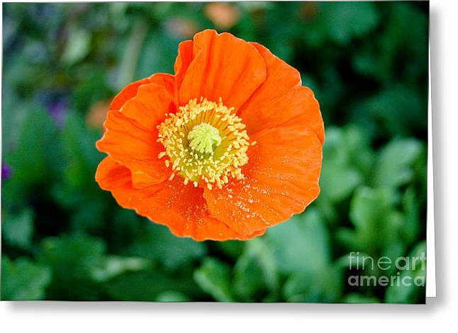 Poppie Greeting Card by Maureen Norcross