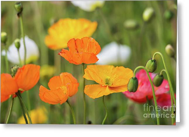 Greeting Card featuring the photograph  Poppies 1 by Werner Padarin