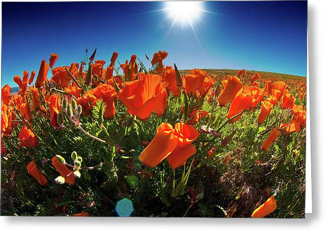 Greeting Card featuring the photograph Poppies by Harry Spitz