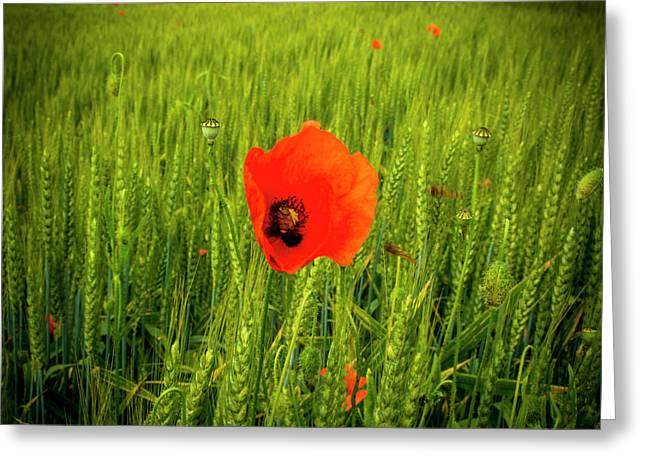 Poppies In A Field Of Wheat. Auvergne. France Greeting Card by Bernard Jaubert