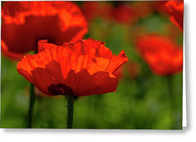 Poppies In A Meadow Greeting Card