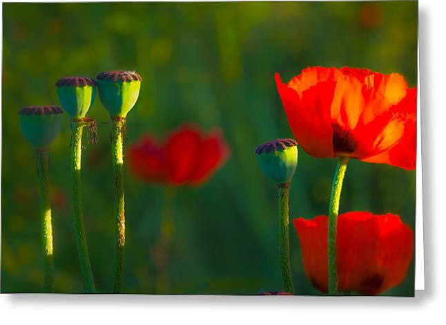 Poppies In Evening Light Greeting Card by Joan Herwig