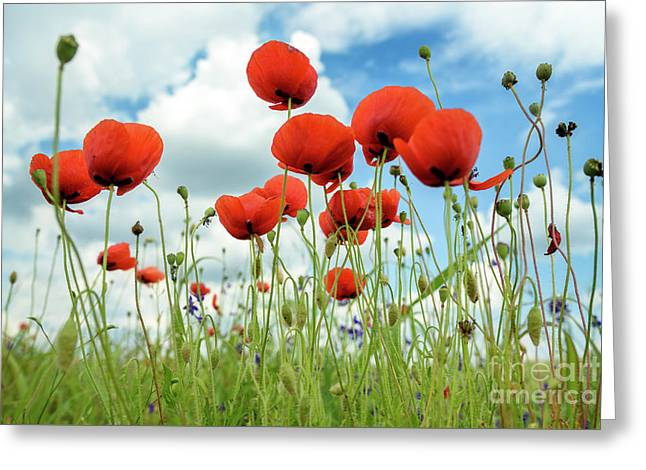 Poppies In Field Greeting Card