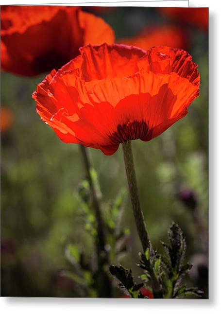 Poppies In The Morning Sun Greeting Card