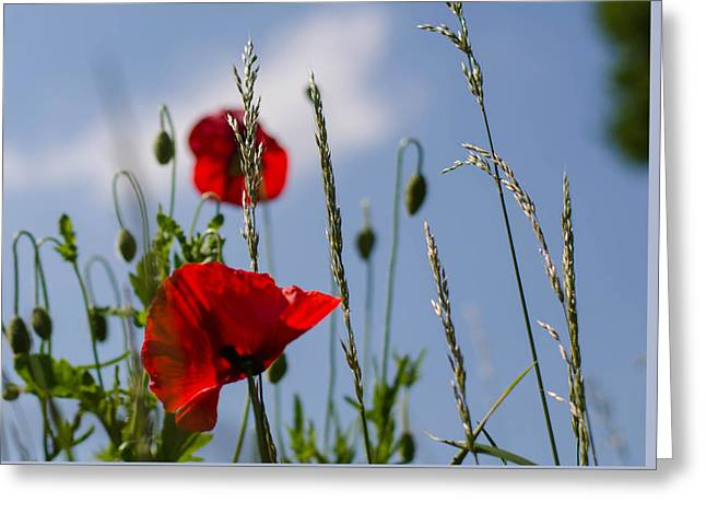 Poppies In The Skies Greeting Card