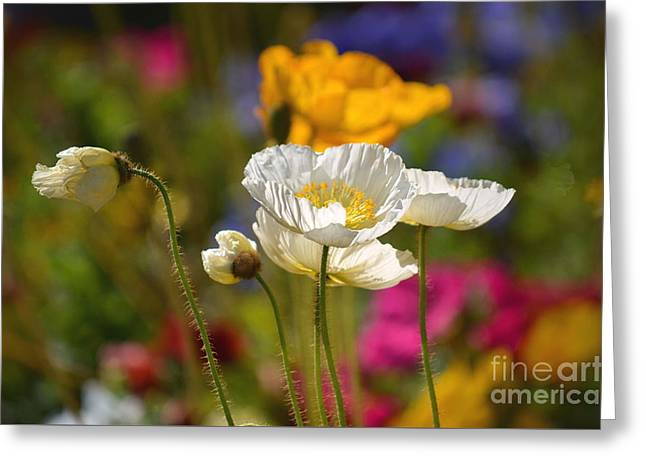 Poppies In The Spring Greeting Card
