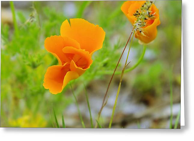 Poppies In The Wind Greeting Card by Jeff Swan
