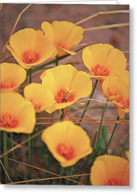 Poppies On Mount Lemmon Greeting Card