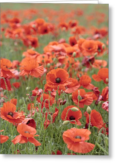 Poppies Greeting Card by Phil Crean