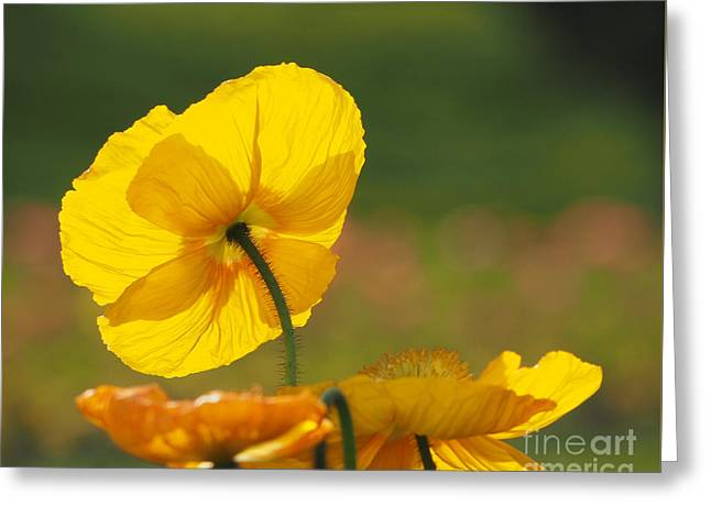 Poppies Seeking The Light Greeting Card