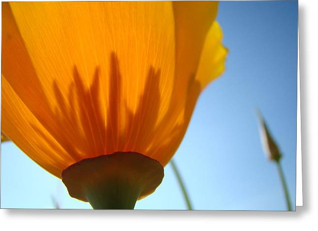 Poppies Sunlit Poppy Flower 1 Wildflower Art Prints Greeting Card