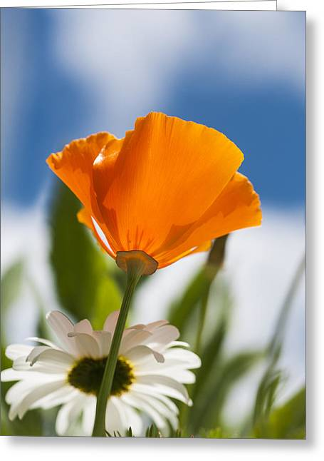 Poppy And Daisies Greeting Card