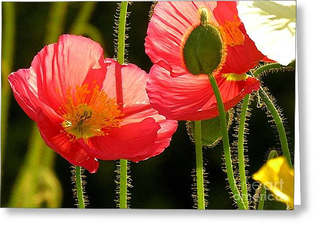 Poppy Greeting Card by Diane Greco-Lesser