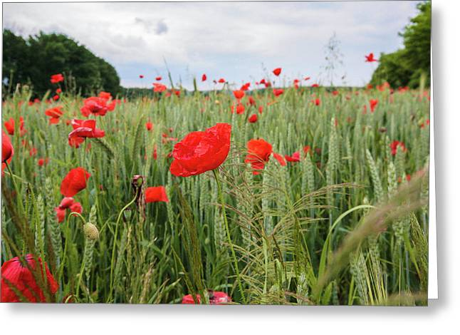 Poppy Fields Of The Czechia Greeting Card