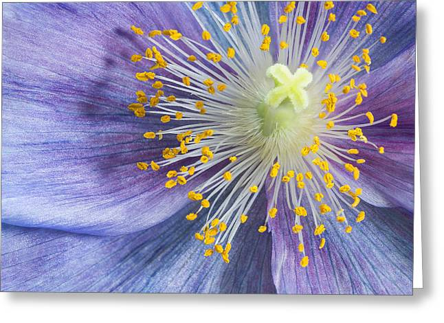 Poppy Fireworks Greeting Card