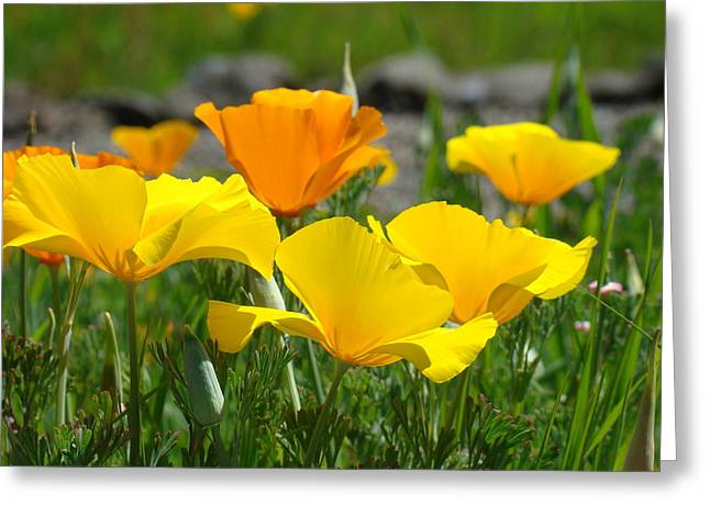 Poppy Flower Meadow 14 Poppies Orange Flowers Giclee Art Prints Baslee Troutman Greeting Card