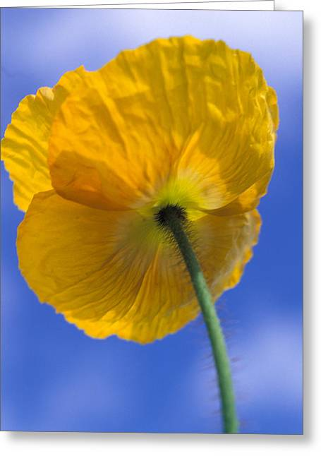 Poppy In The Sky Greeting Card by Kathy Yates