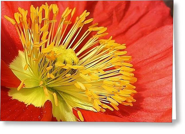 Poppy Macro Greeting Card by Bruce Bley