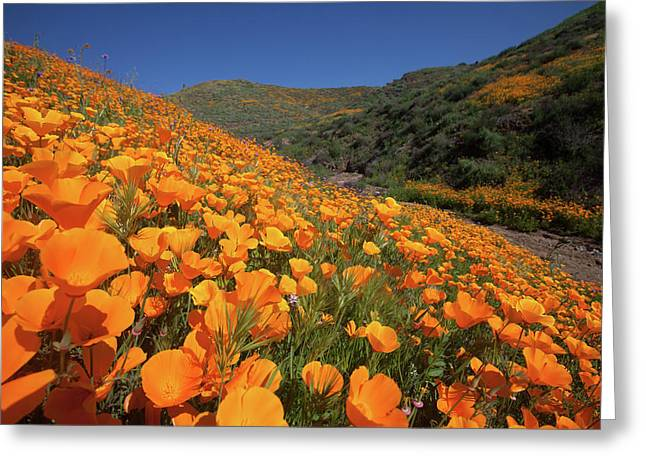 Greeting Card featuring the photograph Poppy Superbloom by Cliff Wassmann