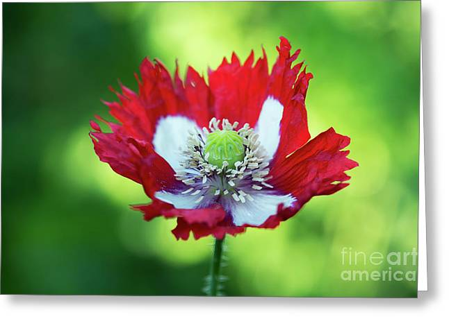Poppy Victoria Cross Greeting Card by Tim Gainey