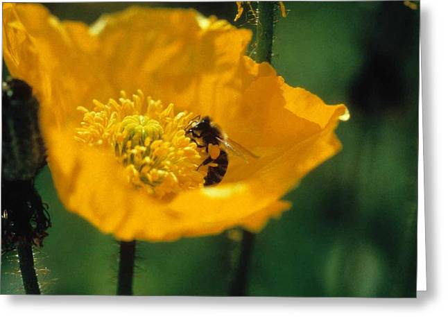 Poppy With Bee Friend Greeting Card by Laurie Paci
