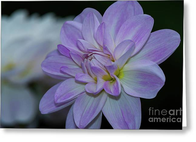 Porcelain Dahlia Greeting Card