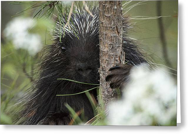Porcupine Check-out Greeting Card