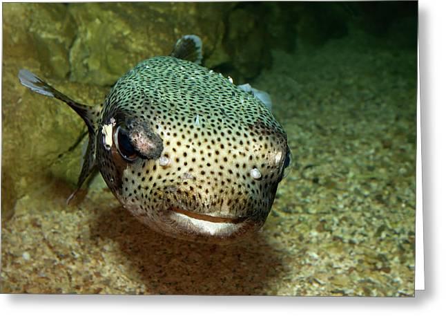Porcupine Fish Greeting Card by Aivar Mikko