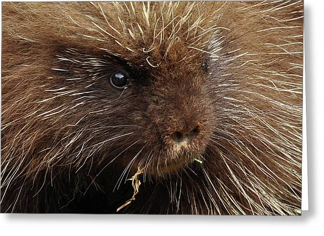 Greeting Card featuring the photograph Porcupine by Glenn Gordon