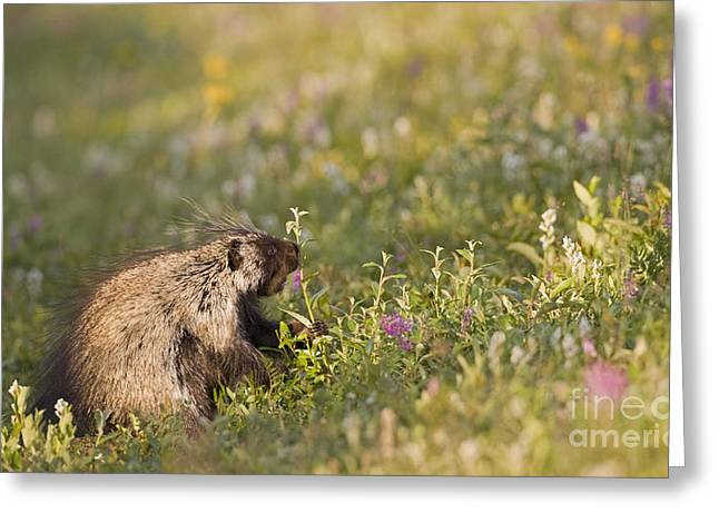 Porcupine In Flowers Greeting Card by Tim Grams