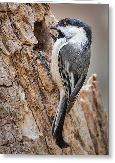 Portrait Of A Black Capped Chickadee Greeting Card by Bill Wakeley