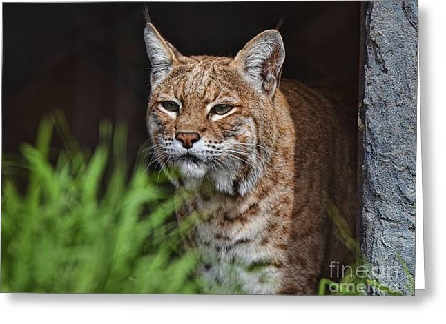 Portrait Of A Bobcat II Greeting Card by Jim Fitzpatrick
