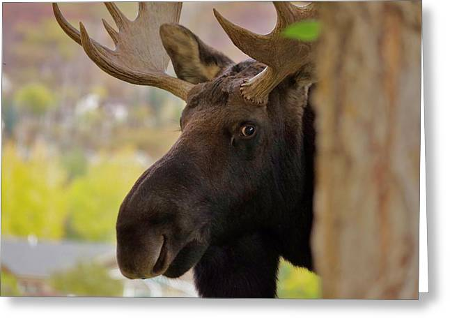 Portrait Of A Bull Moose Greeting Card by Matt Helm