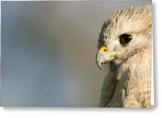 Portrait Of A Florida Red-shouldered Greeting Card by Tim Laman