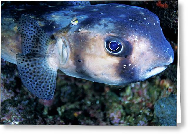 Portrait Of A Freckled Porcupinefish Greeting Card by Sami Sarkis