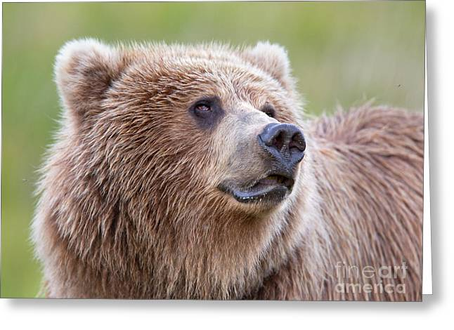 Portrait Of A Grizzly Greeting Card by Richard Garvey-Williams