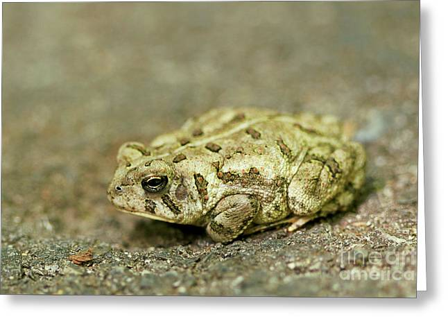 Portrait Of A Grumpy Toad - Fowler's Toad Greeting Card