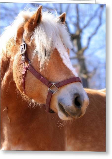 Greeting Card featuring the photograph Portrait Of A Haflinger - Niko by Angela Rath