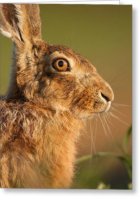 Portrait Of A Hare Greeting Card
